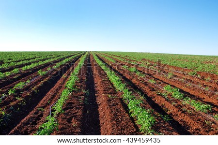 Tomato field at south of Portugal - stock photo