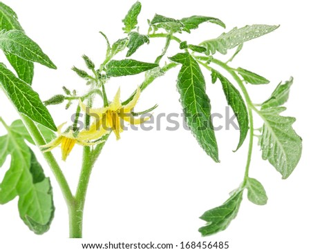 Tomato flowers and leaf on white background - stock photo