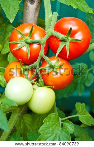 tomato growth on the branch - stock photo