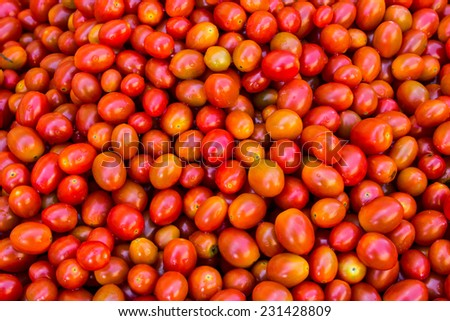 tomato harvest for produce  of agriculture - stock photo