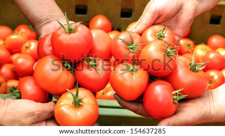 Tomato Harvest.  Human hands holding fresh ripe tomatoes.  - stock photo