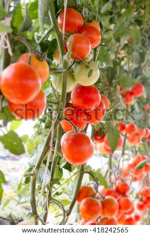Tomato in farm  - stock photo