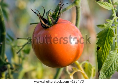 Tomato in greenhouse - stock photo