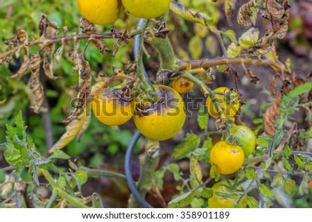 tomato late blight in garden - stock photo