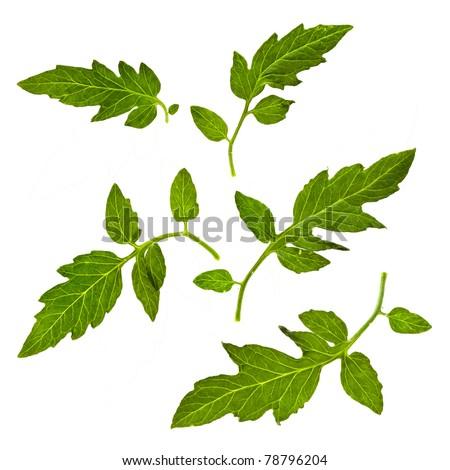 tomato leaves close up macro shot isolated on white background - stock photo