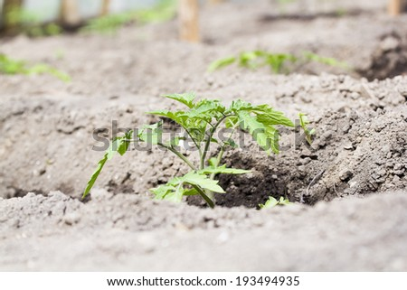 Tomato (Lycopersicon esculentum) youg plant in the seedbed with soil texture