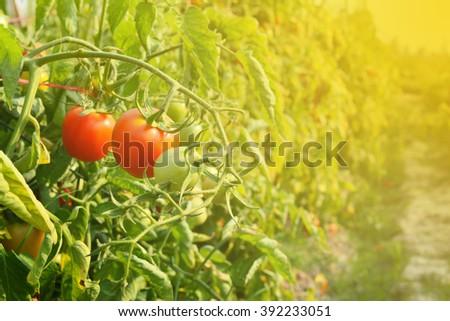 Tomato on garden - stock photo