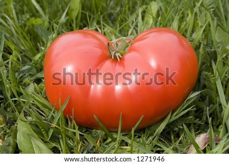 Tomato on grass in spring - stock photo