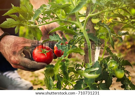 Tomato picking by farmer in the garden