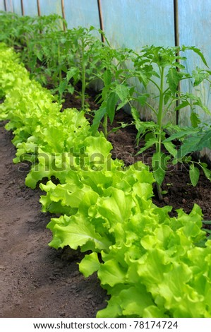 tomato plant and lettuce seedlings growing in greenhouse - stock photo