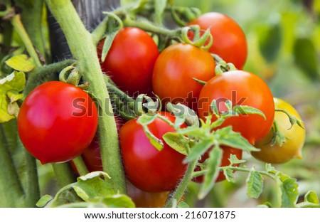 Tomato plant closeup - stock photo