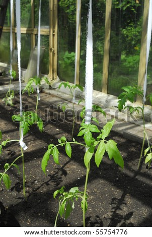 tomato plant growing in greenhouse