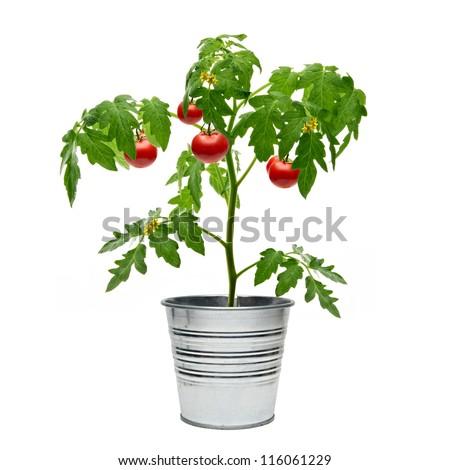 Tomato plant in bucket on white background - stock photo
