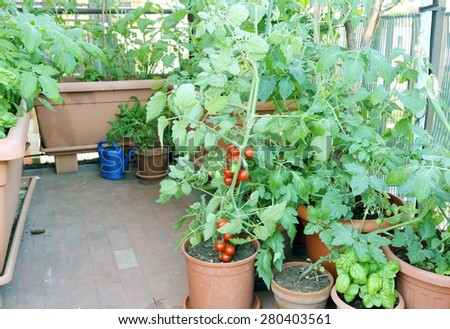 Tomato plant in the pot on the terrace and other plants