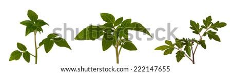 Tomato plant isolated on white compilation - stock photo