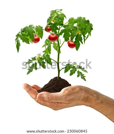 Tomato plant with soil in hand on white background - stock photo