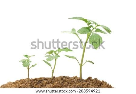 Tomato planting - stock photo