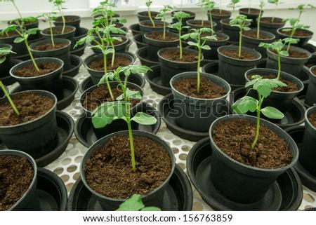 Tomato plants for disease testing.  - stock photo