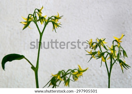 Tomato plants growing outside and its yellow flowers are in bloom in front of a white textured wall. - stock photo