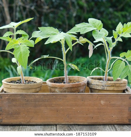 Tomato plants in flower pots in a wooden box/tomatoes/plants - stock photo