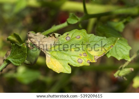 Tomato Plants Infected  by the Late Blight Plant Pathogen Phytophthora Infestans. Macro.