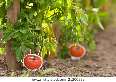 Tomato plants staked and planted in rows - stock photo