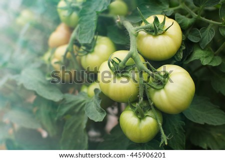 tomato plants with green tomatoes