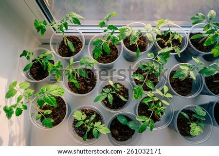 tomato seeding in pots on window sill - stock photo