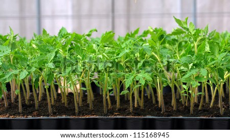 Tomato seedling in plastic tray. 20 day after sowing. - stock photo