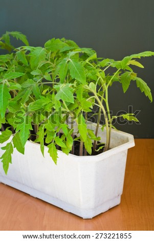 Tomato seedlings in a box - stock photo