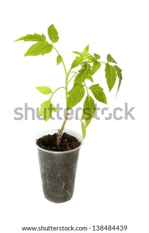 Tomato seedlings in a plastic disposable cup isolated on white background - stock photo