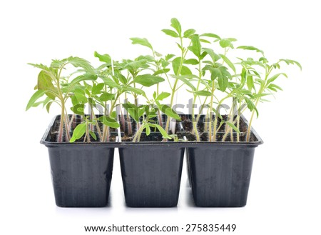 Tomato seedlings in a pot isolated on white background. Young plants in plastic cells; organic gardening - stock photo