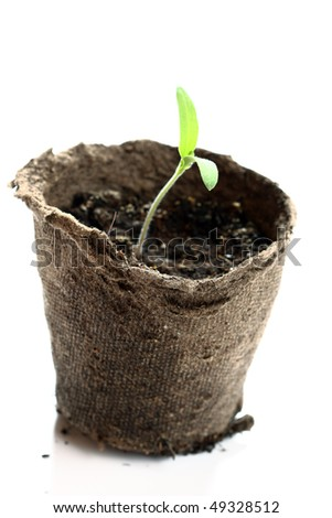 Tomato seedlings in a pot of peat on a neutral background - stock photo