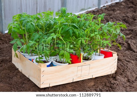 Tomato seedlings in cans at hothouse in spring - stock photo