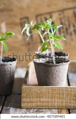 tomato seedlings in the wooden box