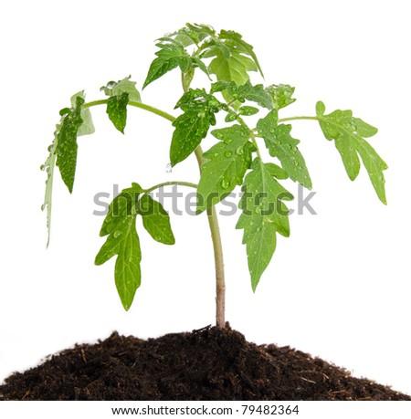 Tomato seedlings isolated - stock photo