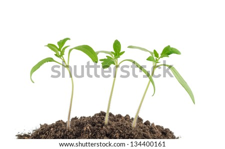 Tomato seedlings isolated on a white background