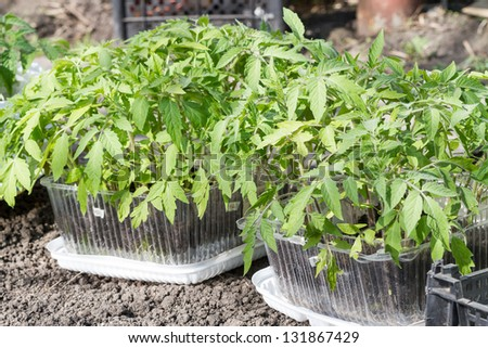 Tomato seedlings outdoors in a sunny spring day