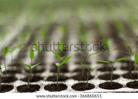 Tomato seedlings sprout Solanum lycopersicum, shallow depth of field CFL grow light HPS grow light - stock photo