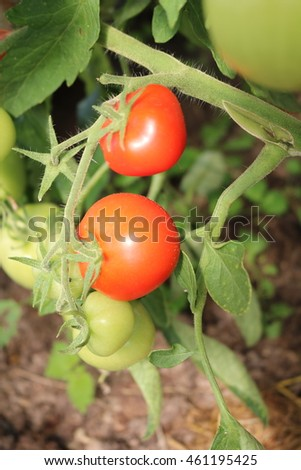 Tomato (Solanum lycopersicum) herb vegetable crop in greenhouse