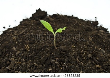 Tomato sprout in soil