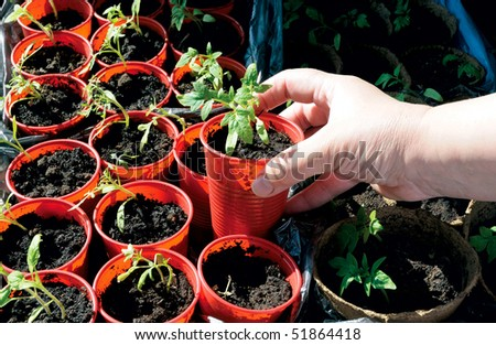 tomato sprouts rows with a gardener hand - stock photo