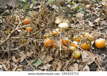 Tomatoes dried in the sun - stock photo