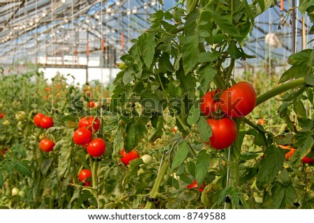 Tomatoes growing in a greenhouse - stock photo