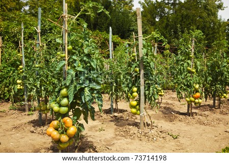 Tomatoes growing in the orchard