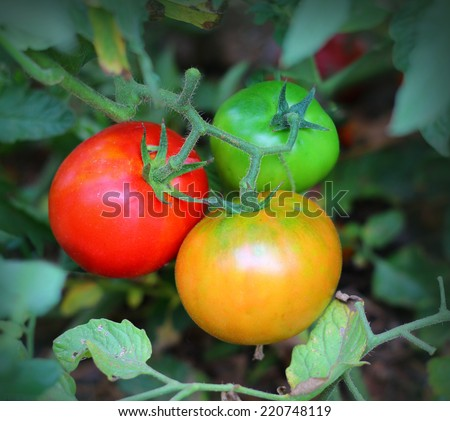Tomatoes Growing on the Vine - stock photo