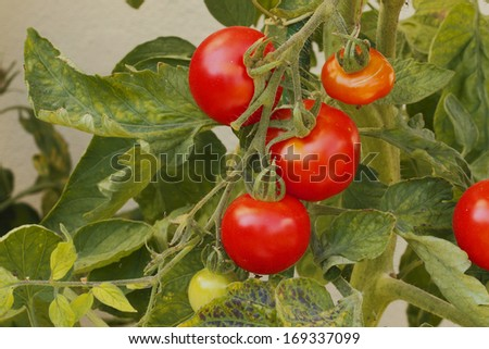Tomatoes in a tomato bush