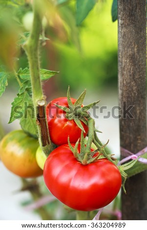 tomatoes in the garden - stock photo