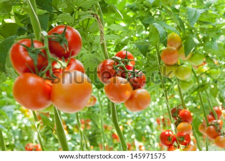 tomatoes in the greenhouse - stock photo