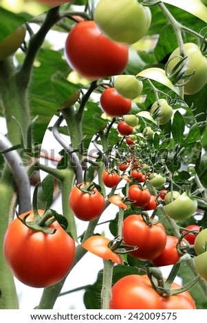 Tomatoes in the greenhouse, filtered - stock photo